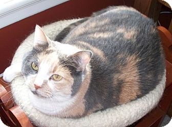 Calico Cat for adoption in Des Moines, Iowa - Abby
