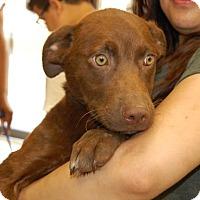 Adopt A Pet :: Lady - Brooklyn, NY