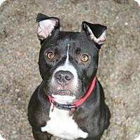 Adopt A Pet :: Ross - Norfolk, VA