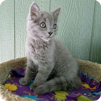 Russian Blue Kitten for adoption in McCormick, South Carolina - Captain