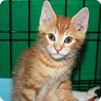 Adopt A Pet :: ORANGE KITTENS - Sussex, NJ