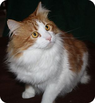 Domestic Longhair Cat for adoption in Washburn, Wisconsin - Clyde