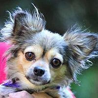 Adopt A Pet :: Brooke - Vernonia, OR