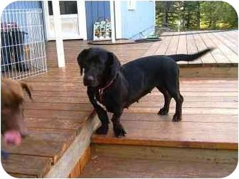 Labrador Retriever/Basset Hound Mix Dog for adoption in Calgary, Alberta - Zuni