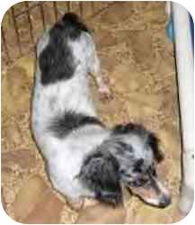 Dachshund Dog for adoption in Cole Camp, Missouri - Gwinny