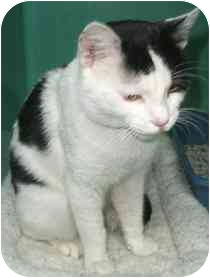 Domestic Shorthair Cat for adoption in Medford, Massachusetts - Bo Duke