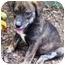 Photo 1 - Boxer/Labrador Retriever Mix Puppy for adoption in Pittsboro/Durham, North Carolina - Max