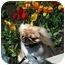 Photo 2 - Pekingese Dog for adoption in Virginia Beach, Virginia - Hannah