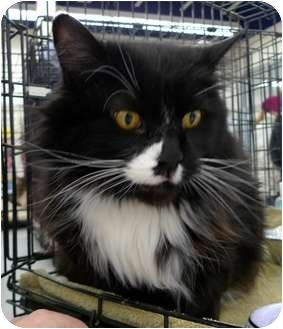Domestic Longhair Cat for adoption in Troy, Michigan - Figaro