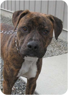 American Pit Bull Terrier/Boxer Mix Dog for adoption in Bonners Ferry, Idaho - Arrie