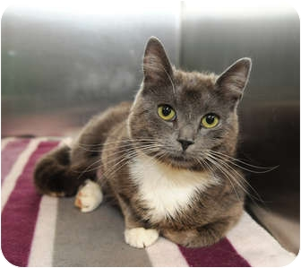 Domestic Shorthair Cat for adoption in Farmingdale, New York - Violet