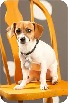 Jack Russell Terrier/Dachshund Mix Dog for adoption in Portland, Oregon - Murray