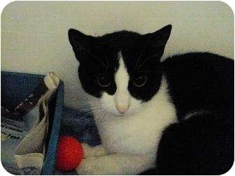 Domestic Shorthair Cat for adoption in West Warwick, Rhode Island - Adeena