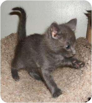 Russian Blue Kitten for adoption in Cocoa, Florida - Jeremy