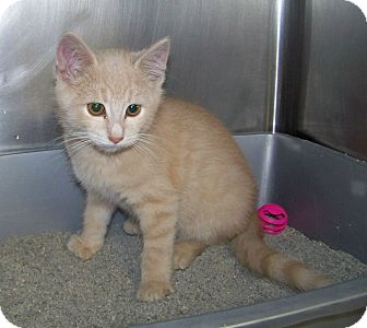 Domestic Shorthair Kitten for adoption in Dover, Ohio - Buster