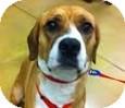 Beagle/Hound (Unknown Type) Mix Dog for adoption in Gainesville, Florida - Charlie