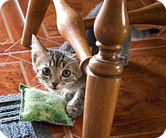 Domestic Shorthair Kitten for adoption in Wickenburg, Arizona - Lady Bug