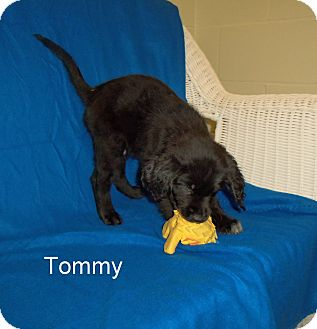Labrador Retriever Mix Puppy for adoption in Slidell, Louisiana - Tommy