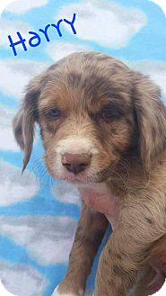 Australian Shepherd/Brittany Mix Puppy for adoption in Salina, Utah - Harry