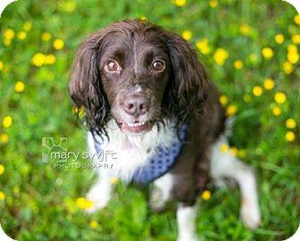 English Springer Spaniel Dog for adoption in Reisterstown, Maryland - Comet