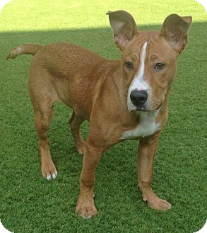 Rhodesian Ridgeback/Pit Bull Terrier Mix Puppy for adoption in Los Angeles, California - Turk