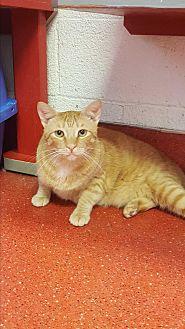 Domestic Shorthair Cat for adoption in yuba city, California - Gino