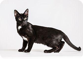 Siamese Kitten for adoption in Hendersonville, North Carolina - Grandfather