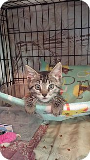 Domestic Shorthair Kitten for adoption in Clarkson, Kentucky - Rae