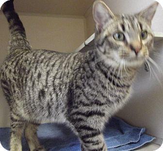 Domestic Shorthair Cat for adoption in Cheboygan, Michigan - TIGER LILLY