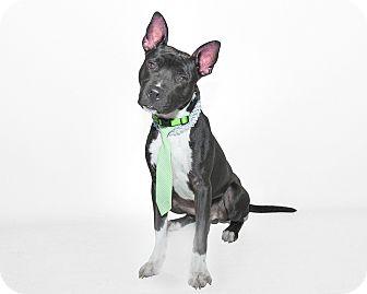 Basenji Mix Dog for adoption in St Cloud, Florida - Zeus