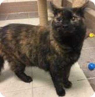 Domestic Shorthair Cat for adoption in Columbus, Georgia - Piddlepie 1696