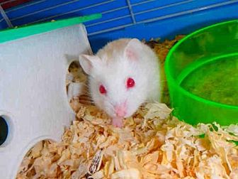 Hamster for adoption in Los Angeles, California - A1679644