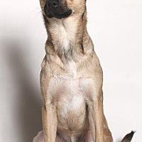 Pug/Shepherd (Unknown Type) Mix Dog for adoption in Gardena, California - Zane