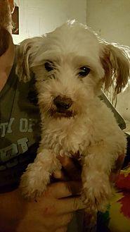Coton de Tulear Mix Dog for adoption in DAYTON, Ohio - Harlan