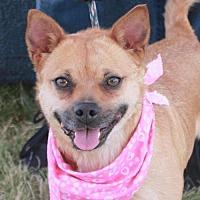 Pug/Shiba Inu Mix Dog for adoption in Garfield Heights, Ohio - Elsa