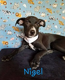 Rat Terrier/Chihuahua Mix Puppy for adoption in Troutville, Virginia - Nigel