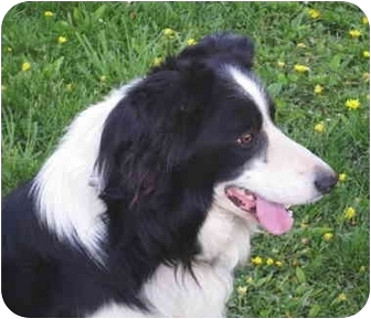 Border Collie Dog for adoption in Minerva, Ohio - Troy