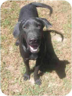 Labrador Retriever Puppy for adoption in New York, New York - Jack