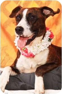 American Pit Bull Terrier Mix Dog for adoption in Puunene, Hawaii - Leila