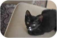 Domestic Shorthair Kitten for adoption in Tampa, Florida - Mimi