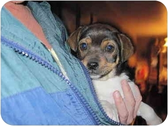 Pug Mix Puppy for adoption in harrah, Oklahoma - Jumping Bean 1