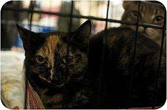 Domestic Shorthair Cat for adoption in New York, New York - Nina