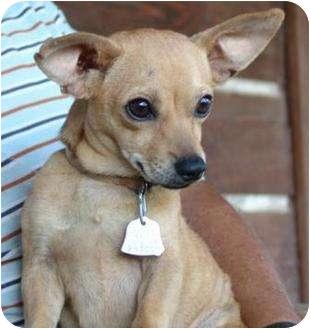 Chihuahua/Dachshund Mix Puppy for adoption in Staunton, Virginia - Billy