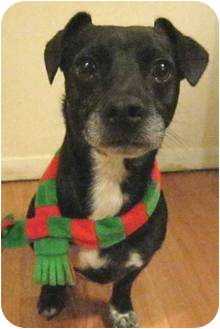 Jack Russell Terrier/Dachshund Mix Dog for adoption in Poway, California - TIMMIE