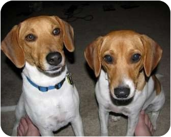 Jack Russell Terrier/Beagle Mix Dog for adoption in Austin, Texas - Riley in Austin