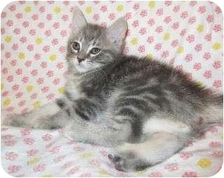 Domestic Mediumhair Kitten for adoption in Schertz, Texas - Jumper