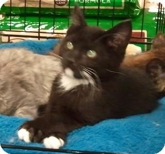 Domestic Shorthair Kitten for adoption in Anchorage, Alaska - Peyton