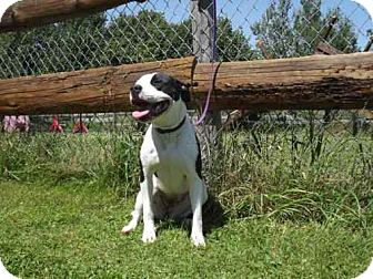 American Bulldog Mix Dog for adoption in Phillips, Wisconsin - Sabrina