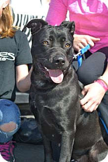Labrador Retriever/Pit Bull Terrier Mix Dog for adoption in Phoenix, Arizona - Maggie