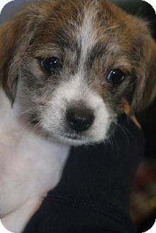 Maltese/Jack Russell Terrier Mix Puppy for adoption in Mission Viejo, California - ELLIOT